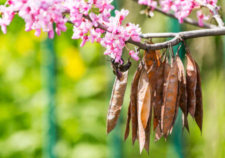 Cercis siliquastrum or Judas tree, ornamental tree blooming with beautiful deep pink colored flowers in the spring. Eastern redbud tree blossom. Old seed pods and black bumblebee on flowers. Stock Photo