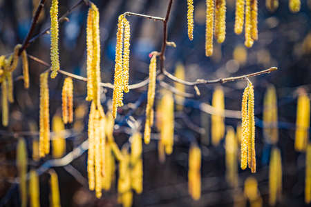Spring flowers catkins of Common hazel (Corylus avellana) similar to earrings in sunlight, spring background. Free space for text.