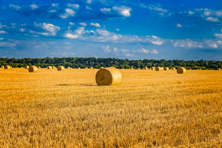 Large round cylindrical straw or hay bales in countryside on yellow wheat field in summer or autumn after harvesting on sunny day. Straw used as biofuel, biogas, animal feed, construction material.
