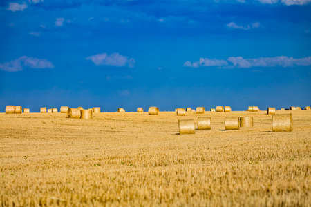 Large round cylindrical straw or hay bales in countryside on yellow wheat field in summer or autumn after harvesting on sunny day. Straw used as biofuel, biogas, animal feed, construction material. Stockfoto