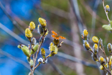 A butterfly Polygonia c-album on pussy-willow branches with catkins, spring background