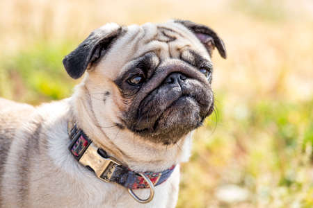 Portrait of beautiful pug puppy dog in a collar on nature background Stock fotó