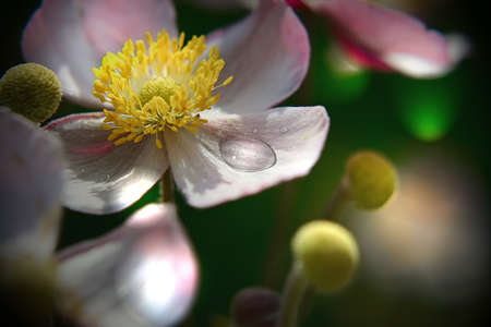 Japanese anemone with big dew drops on blurred background, close up. Stock Photo