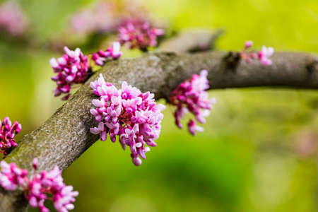 Cercis siliquastrum or Judas tree, ornamental tree blooming with beautiful deep pink colored flowers in the spring. Eastern redbud tree blossoms in spring time. Flowers directly on the trunk.