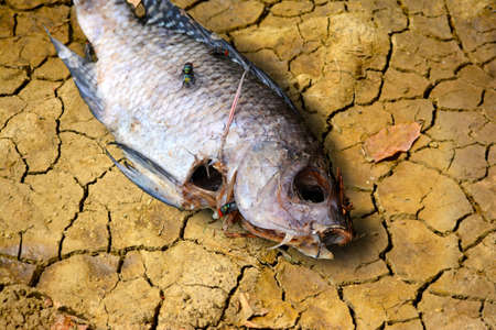 The carcasses of the fish are seen lying on cracked soil