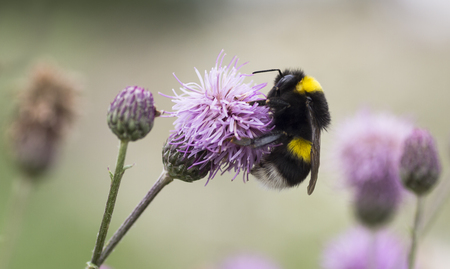 pollinator: Bumblebee in the thistle Stock Photo