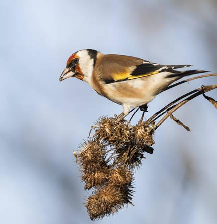 goldfinch: European goldfinch