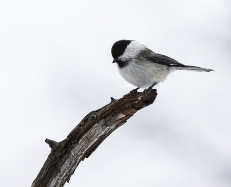 willow: Willow tit
