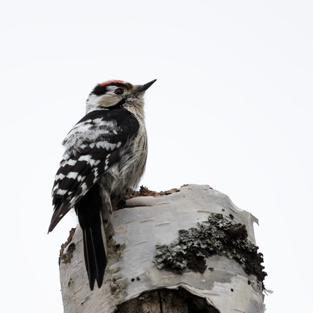 woodpecker: Lesser Spotted Woodpecker