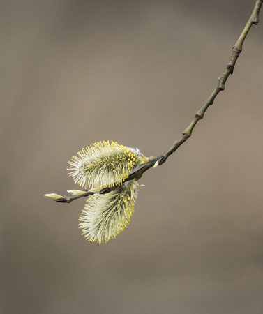 pussy willow: Pussy Willow Stock Photo