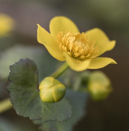 marigold: Marsh marigold