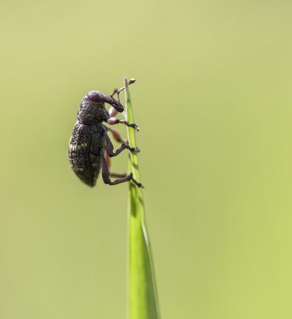 abietis: Pine Weevil Stock Photo