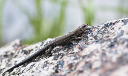 viviparous lizard: Viviparous Lizard