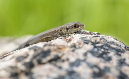 zootoca: Viviparous Lizard