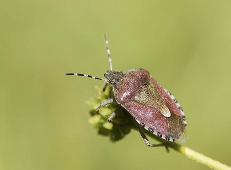 pentatomidae: Dolycoris baccarum