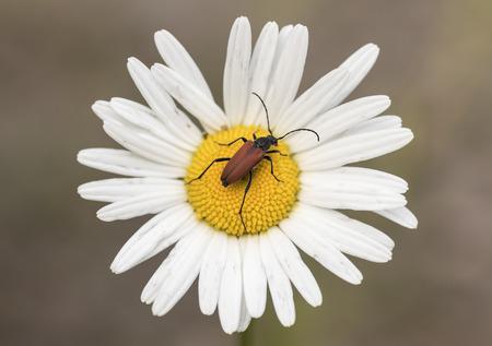 cerambycidae: Anoplodera reyi