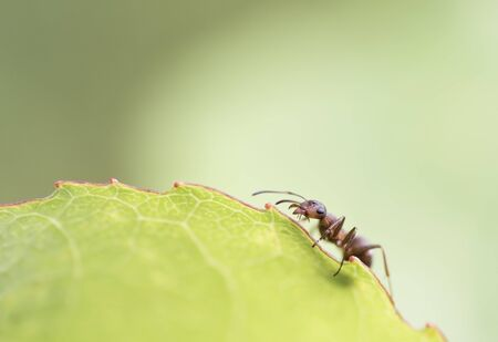 hormiga hoja: Hormiga en la hoja