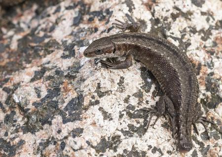 zootoca: Lizard
