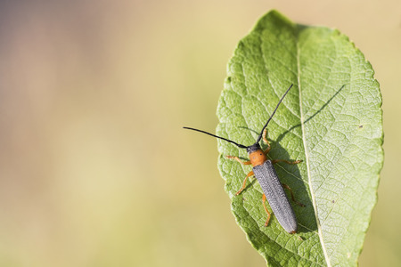 cerambycidae: Oberea oculata Stock Photo