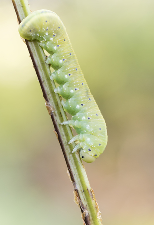 larva: Cimbicidae larva