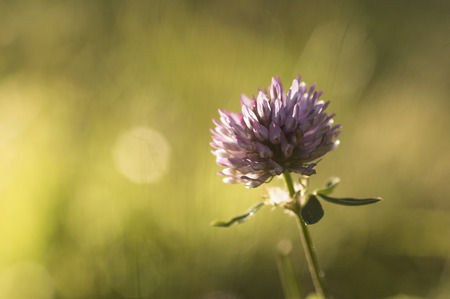red clover: Red Clover