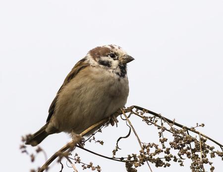 retardation: Discolorationed Eurasian Tree Sparrow Stock Photo