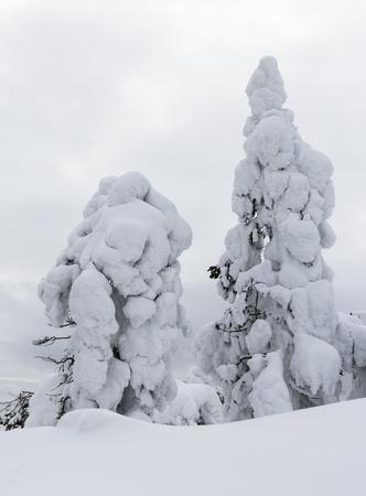 heavy snow: Heavy snow trees in the gray world