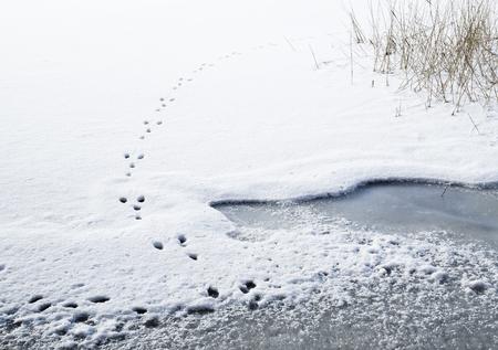 Chemin de lapin dans le haut de la couverture de neige de glace couverte lac Banque d'images - 53666488