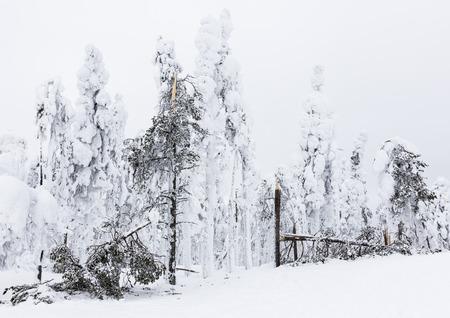 Arbres brisés par la neige Banque d'images - 56023197
