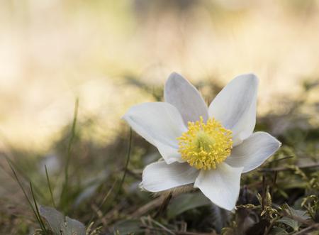 protected plant: Beautiful flower Pulsatilla vernalis Stock Photo