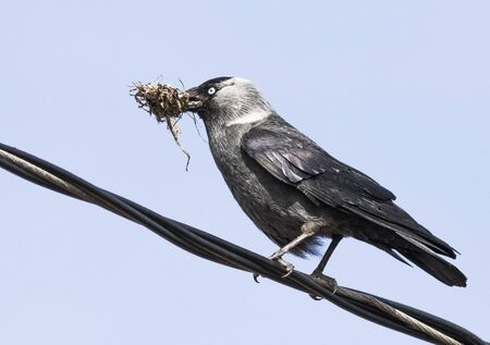 eurasian: Eurasian jackdaw making nest Stock Photo
