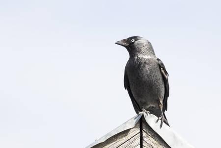 Choucas des tours assis dessus de toit Banque d'images - 55950186