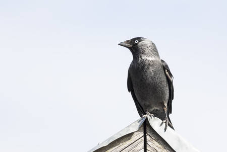 jackdaw: Eurasian jackdaw sitting top of roof