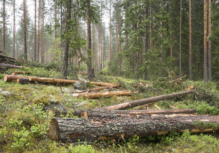 timber harvesting: Thinning in pine forest in Finland