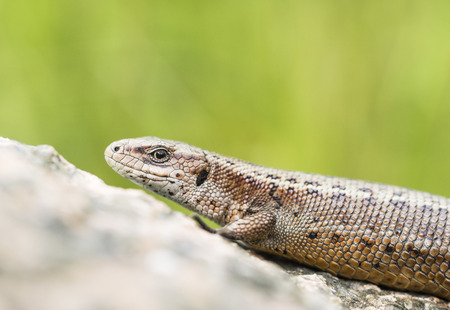 viviparous lizard: Viviparous lizard Stock Photo