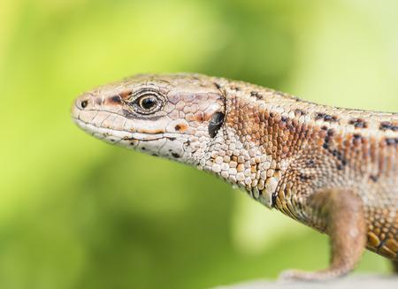 viviparous: Viviparous lizard Stock Photo