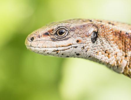 vivipara: Viviparous lizard Stock Photo