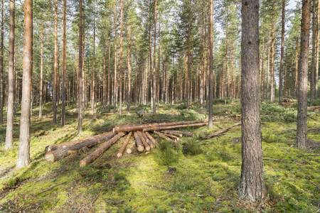 Foresterie dans la forêt de pins en Finlande Banque d'images - 65543417
