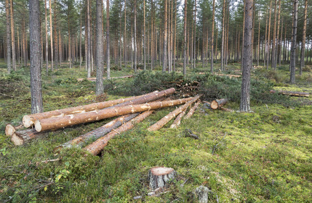 Foresterie dans la forêt de pins en Finlande Banque d'images - 65543425