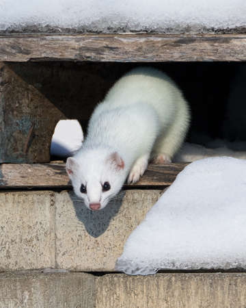 White stoat coming down from its hideout and looking at camera