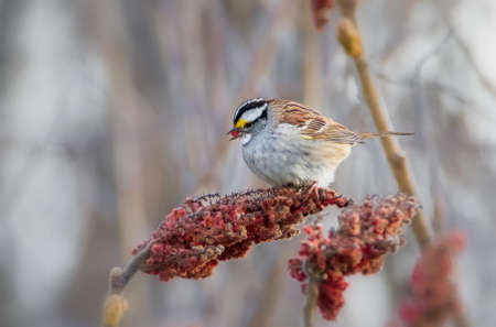 Close up of White throated Sparrow feeding on red sumac fruits