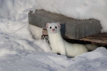 White stoat in snow coming out of its hideout and looking at camera 写真素材