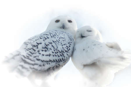 Close up of two White Snowy Owls in love leaning on each other Standard-Bild
