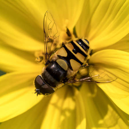 Yellow Hover fly on yellow helianthus flower Archivio Fotografico