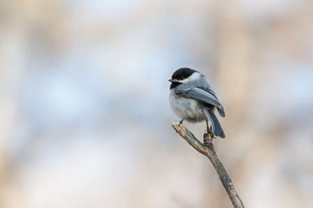 Close up of cute Black capped Chickadee perched on top of a dead tree branch