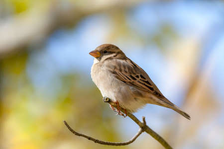 Extreme close up of female House Sparrow bird on branch