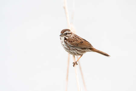 High key close up of Song Sparrow standing on twig against white background