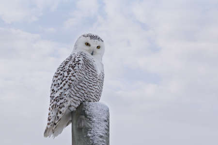 Close up of staring Snowy Owl on post against white clouds in blue sky