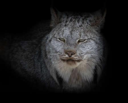 Canada Lynx close up portrait against black background