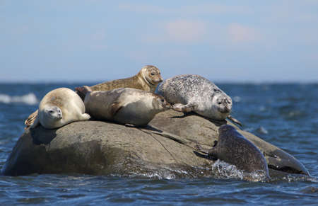 Four big Grey Seals on small rock island in blue sea water and a smaller one trying to join in